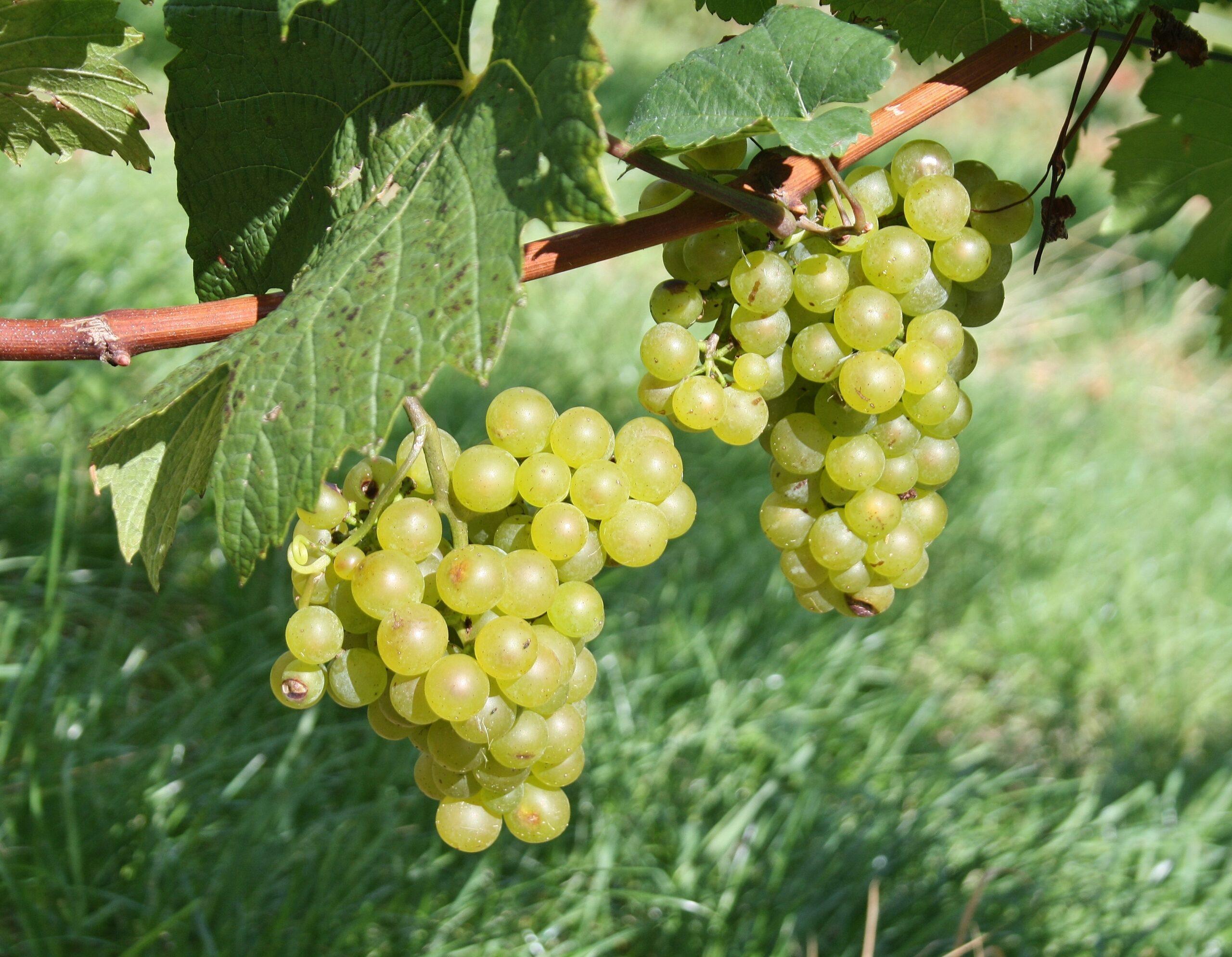 Witte wijnen Steiermark